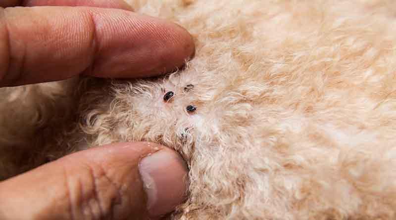 Cara Jitu Membasmi Kutu Pada Hewan Peliharaan