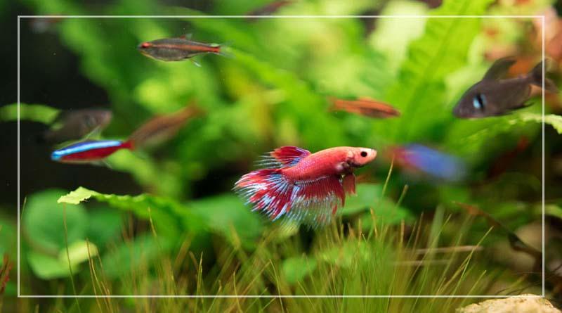 7 Jenis Ikan Hias Air Tawar yang Bisa Dipelihara di Rumah