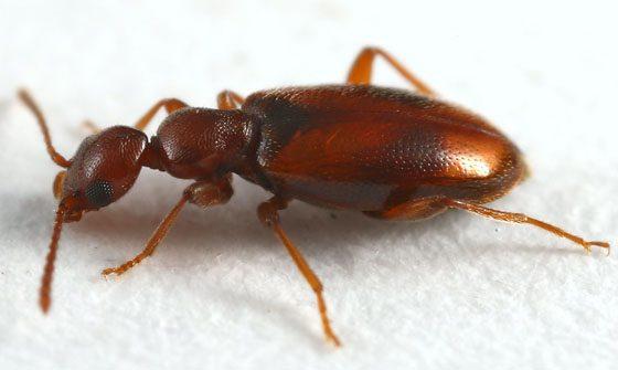 Antlike Flower Beetle