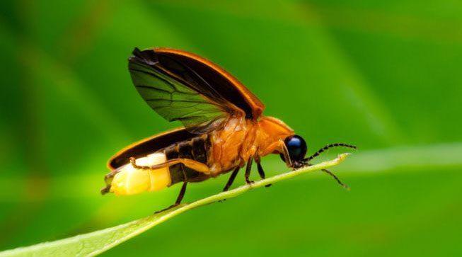 Firefly (Kunang-kunang)