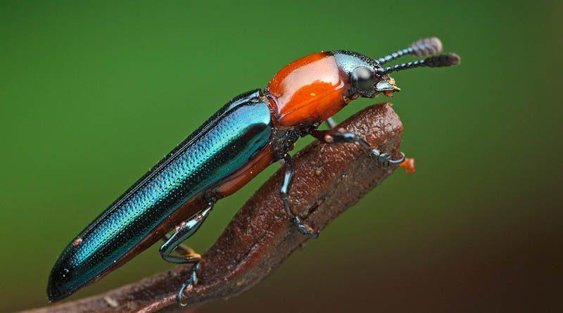 Lizard Beetle