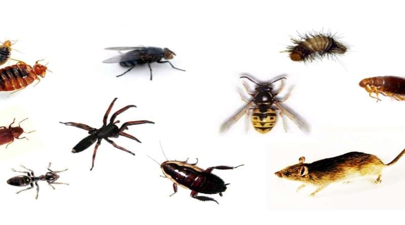 Cara Mengusir Kecoa, Tungau, Lalat dan Hama Lain dari Rumah