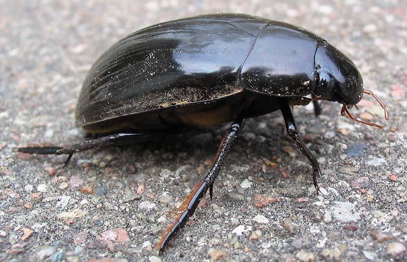 Water Scavenger Beetle