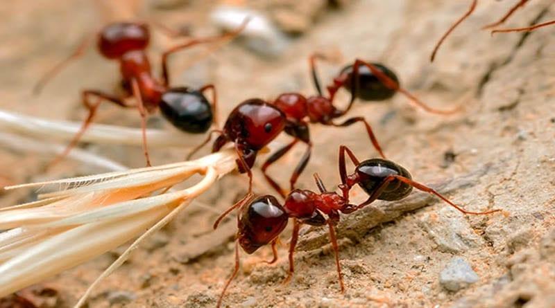 apa itu semut