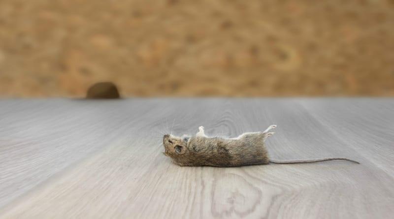 Cara Paling Ampuh Menghilangkan Bau Bangkai Tikus