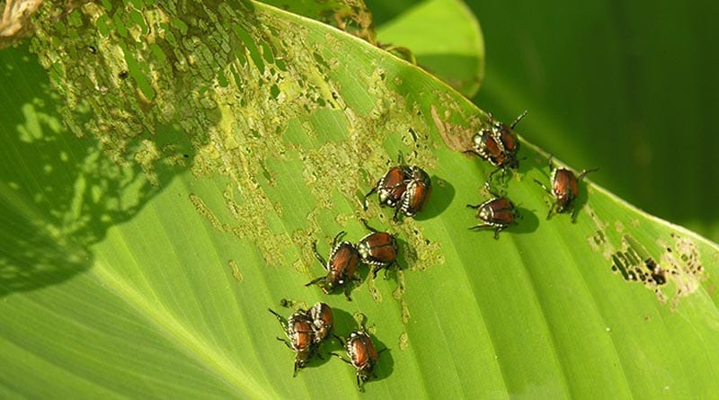 cara membasmi kumbang