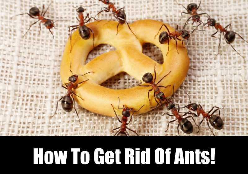 Cara Alami untuk Membasmi Semut di Rumah Anda!