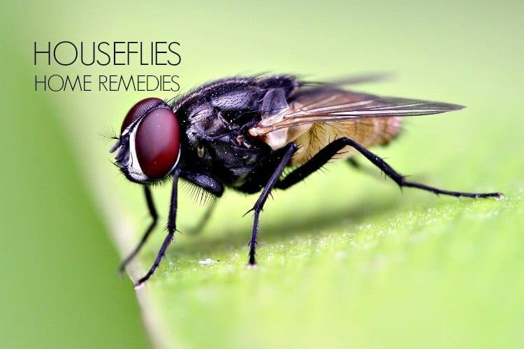 Cara Tepat Membasmi Lalat Menggunakan Bahan Alami