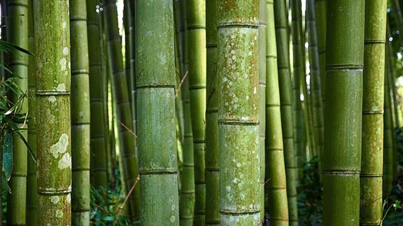 7 Kegunaan Bambu Ini Diklaim Bawa Hoki, Wajib Punya Dirumah!