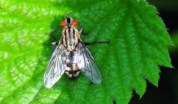 17 Fakta Menarik Tentang Lalat