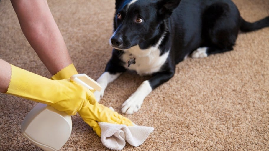 Cara Jitu Membersihkan Kotoran Hewan di Karpet