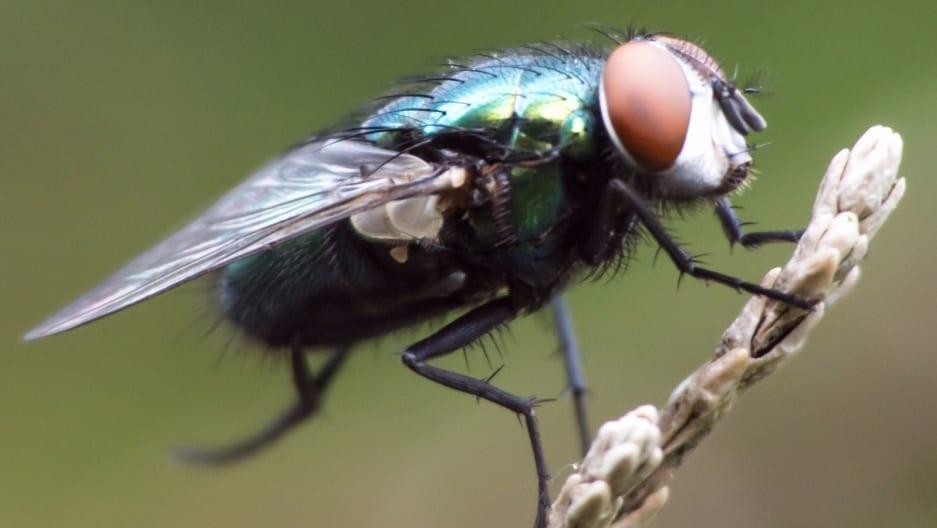 Apa Itu Lalat Sesunguhnya?