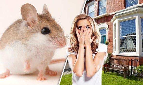 8 Cara Paling Ampuh untuk Mengusir Tikus di Rumah!