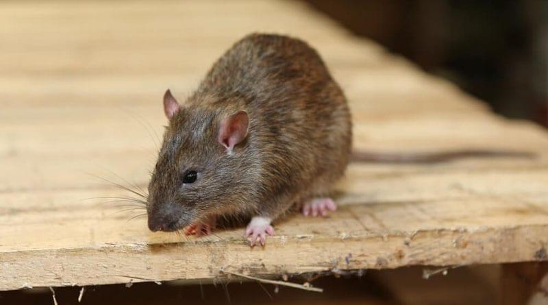 Tips Jitu Membersihkan Barang yang Kena Kotoran Tikus
